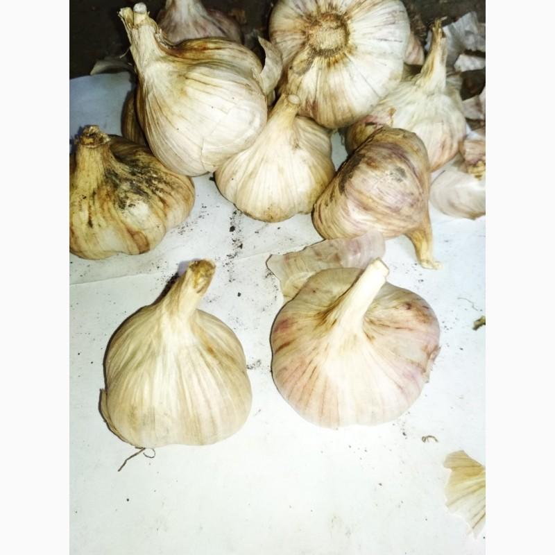 Лучшие озимые и яровые сорта чеснока для выращивания на приусадебных участках