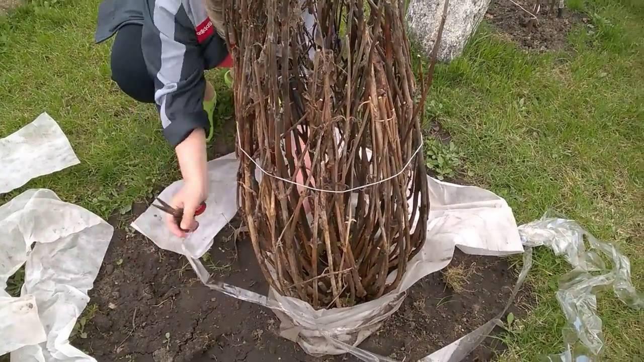 Как укрыть розмарин на зиму на даче: уход в открытом грунте, нужно ли выкапывать