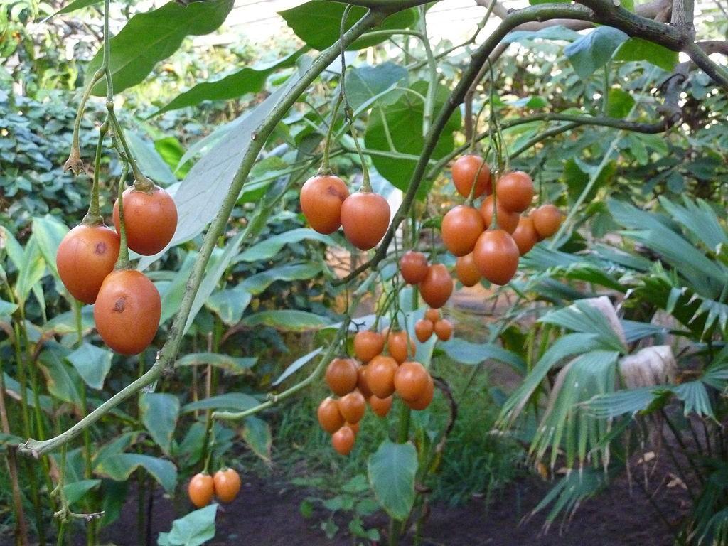 Томатное дерево тамарилло