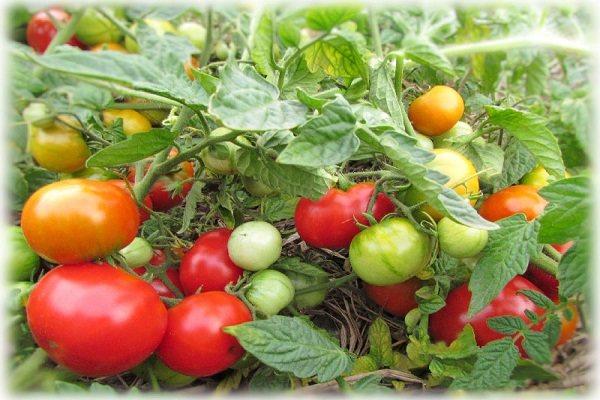 Томат турбореактивный – характеристика и описание сорта, фото, урожайность, отзывы тех, кто сажал