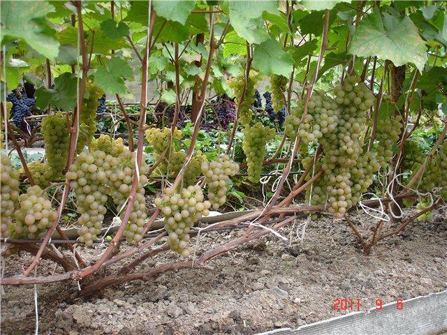 Все о винограде бианка