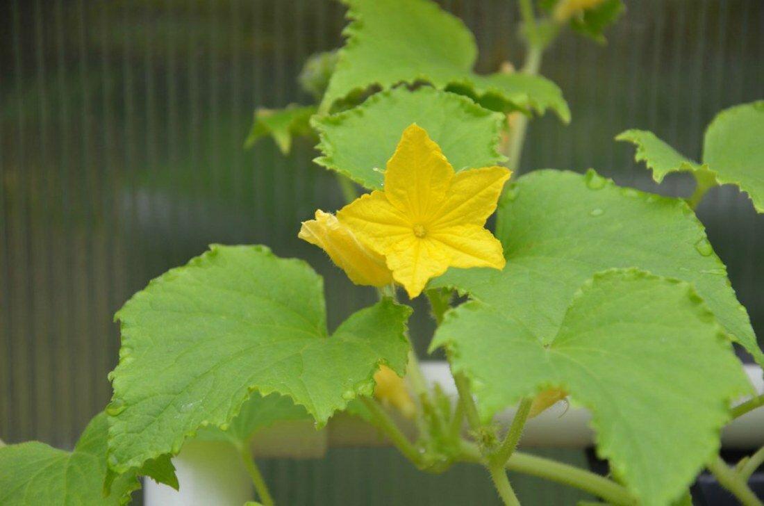 Пустоцвет на кабачках: почему и что делать