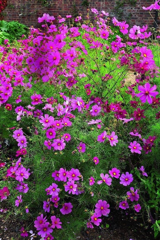 Космея: посадка и уход в открытом грунте, выращивание из семян