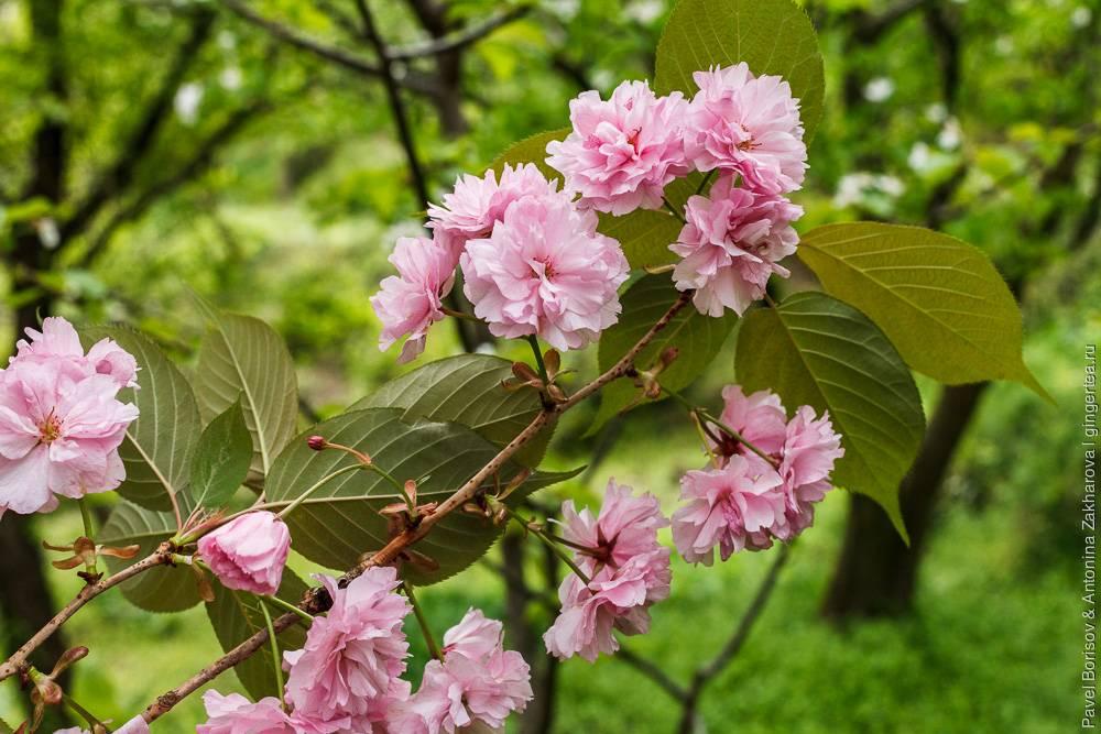 Вишня мелкопильчатая: посадка и уход за декоративным деревом