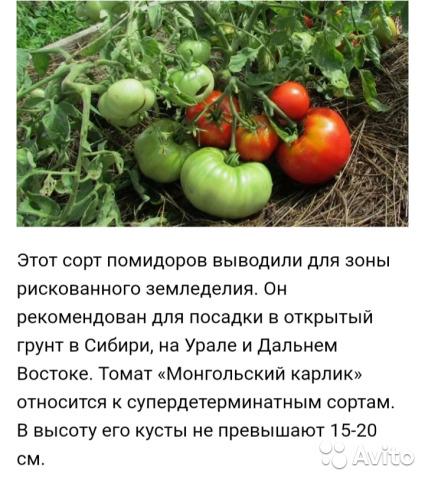 Когда сеять томат монгольский карлик? / асиенда.ру