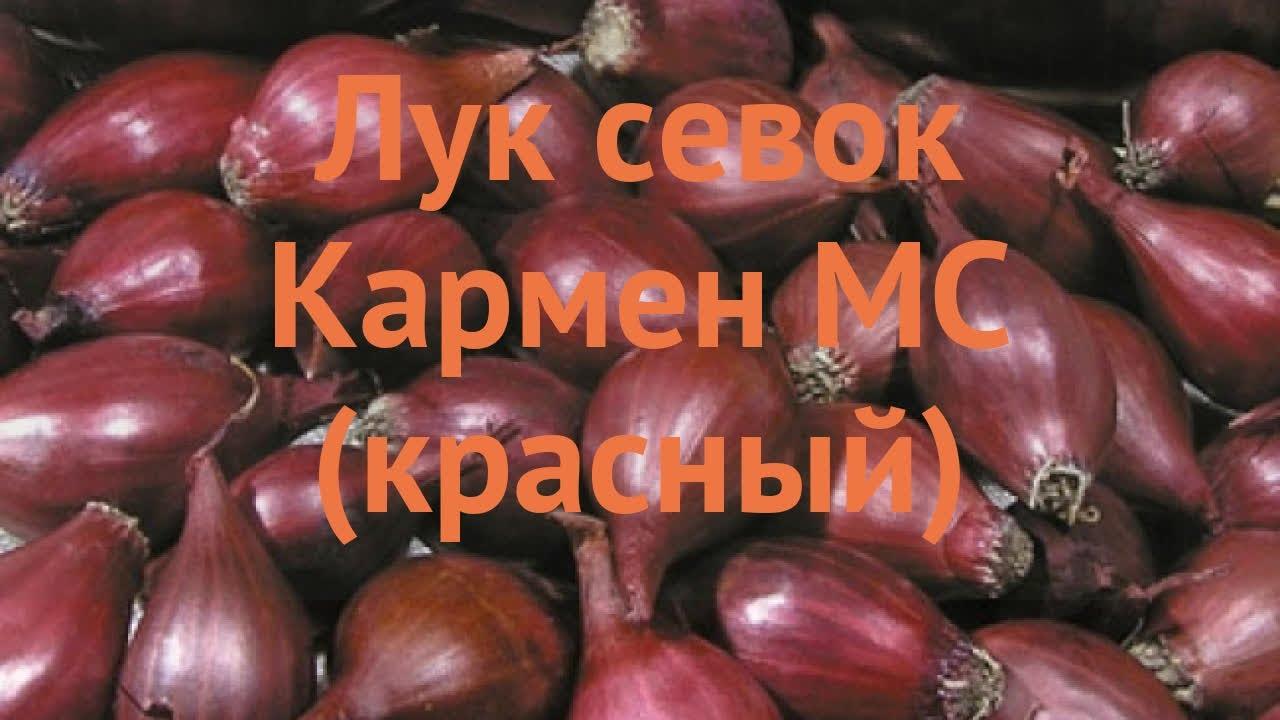 Достоинства красного лука кармен, когда лучше посадить, правила ухода