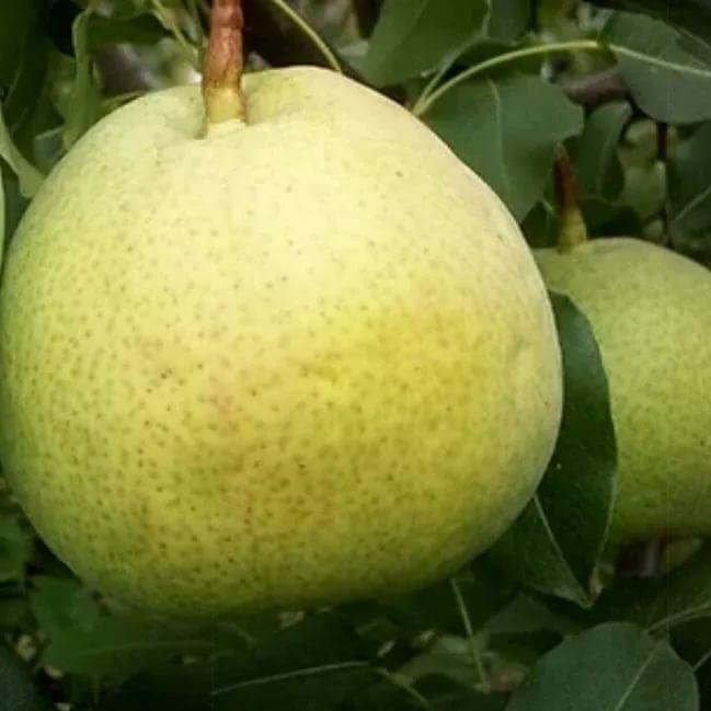 Лучшие сорта груш для выращивания в ростовской области – обзор самых популярных ранних и поздних сортов