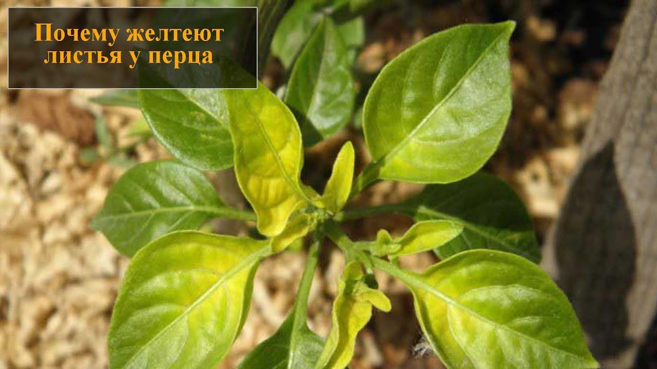 У перца скручиваются листья: причины, что делать