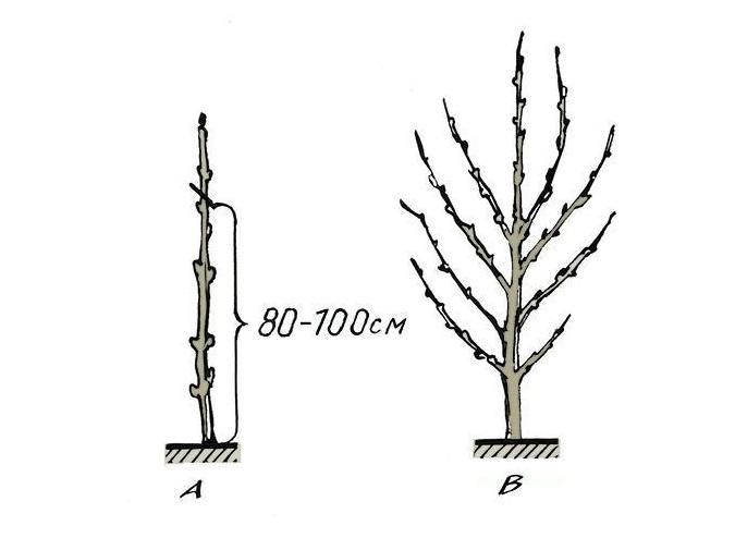 Обрезка колонновидных яблонь весной + схема видео для начинающих - скороспел