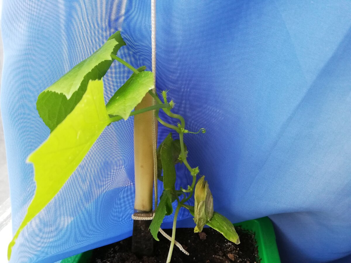 Подкормка рассады огурцов в домашних условиях и на огороде: чем и как правильно подкармливать, рецепты различных удобрений русский фермер