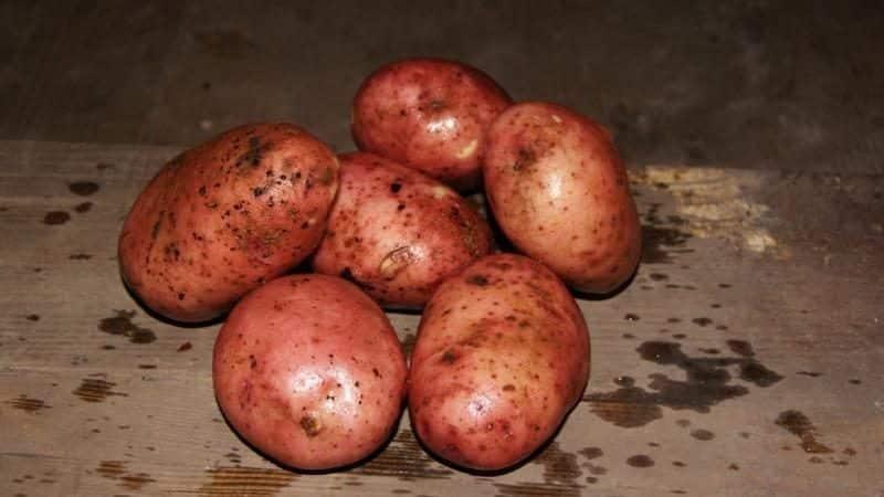 Картофель хозяюшка: описание сорта, фото, отзывы