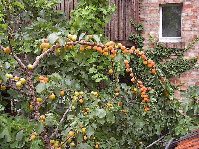 Выращивание абрикоса в сибири: лучшие зимостойкие сорта, посадка и уход с видео