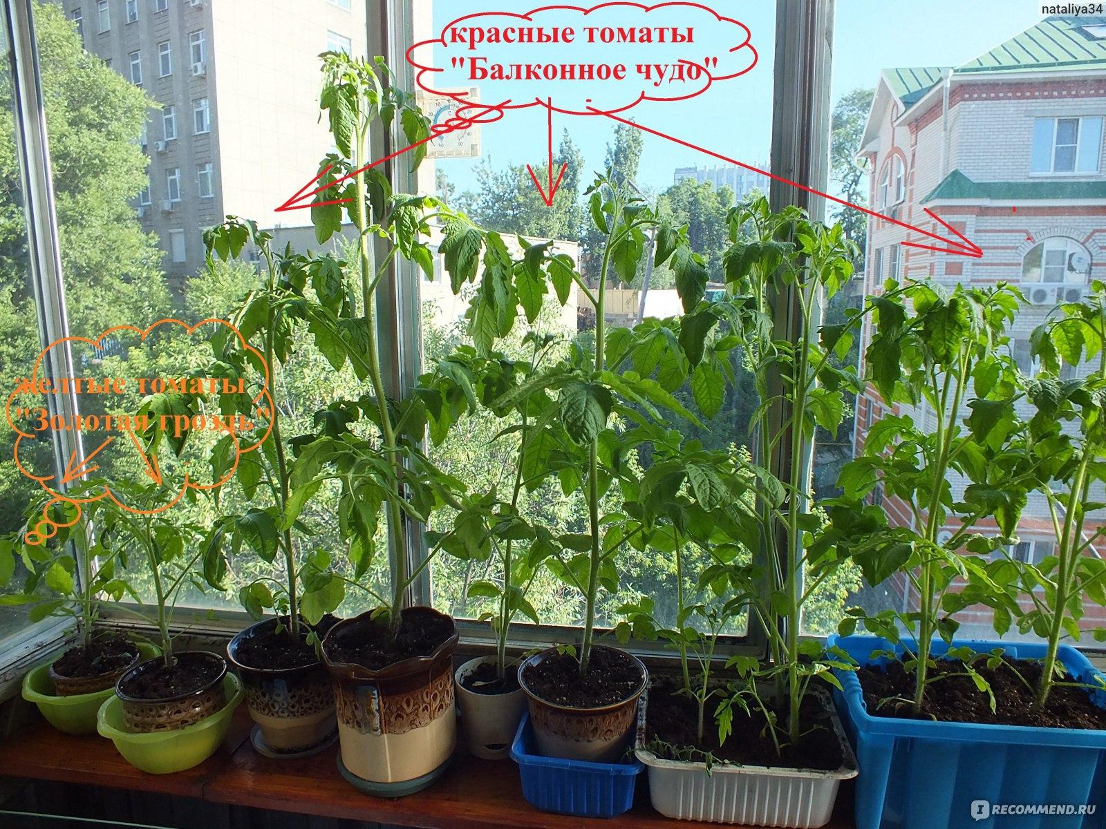 Помидоры «балконное чудо»: выращивание дома