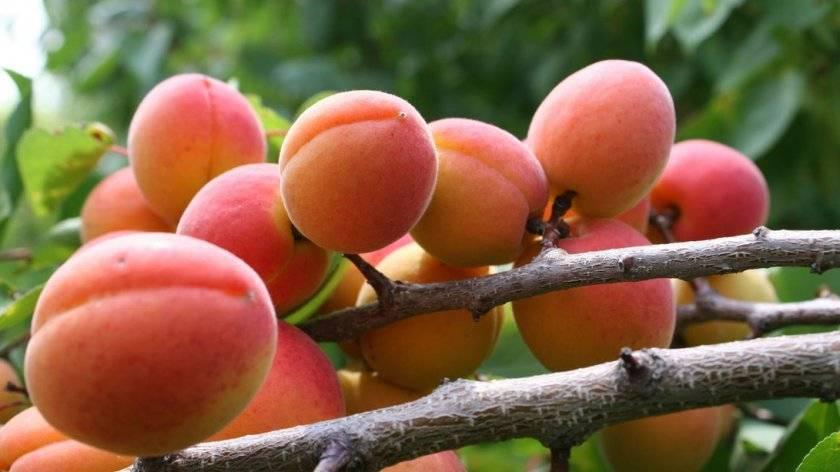 Колоновидный абрикос: описание лучших сортов, посадка и уход, правила обрезки