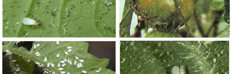 Появление белокрылки на помидорах в теплице: 3 метода борьбы
