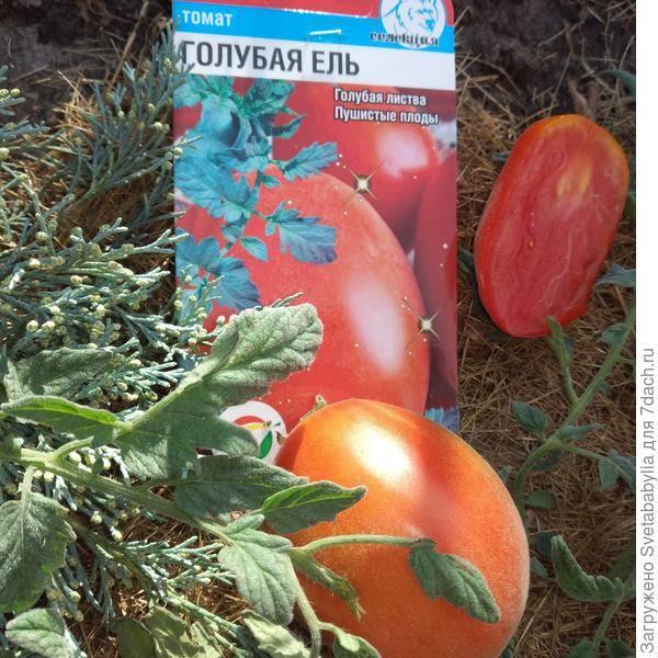 Томат серебристая ель отзывы фото - выращивание из семян!