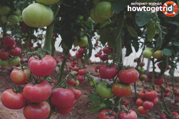 Характеристика и описание гибрида томата санрайз f1, выращивание