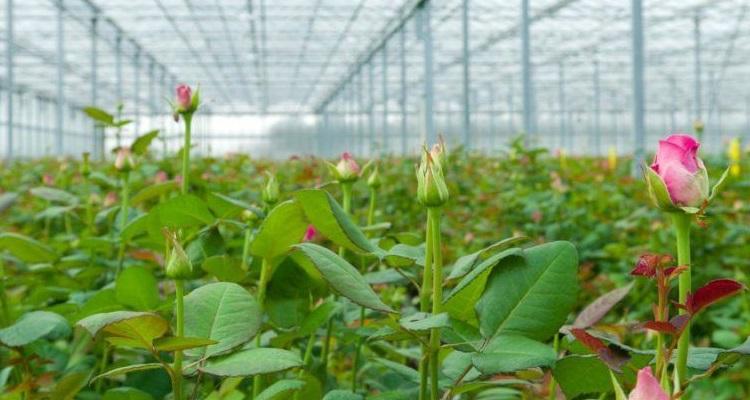 Розы в теплице: секреты выращивания королевы цветов в закрытом грунте