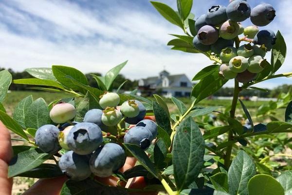 Сорта низкорослой, среднерослой и высокорослой голубики. особенности их выращивания и использования. | огородники