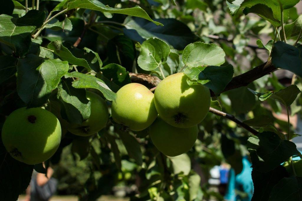 Описание сорта яблони конференция: фото яблок, важные характеристики, урожайность с дерева