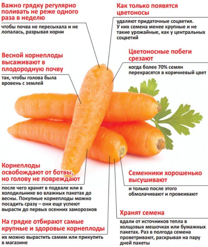 Уход за морковью в открытом грунте: что делать, чтобы был хороший урожай, как правильно проводить подкормку овоща и его полив? русский фермер