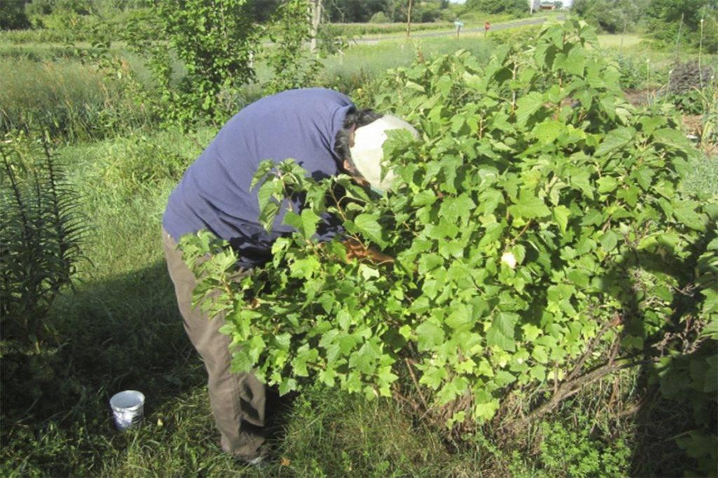 Паутинный клещ на смородине - современные и народные методы борьбы с вредителем (95 фото)