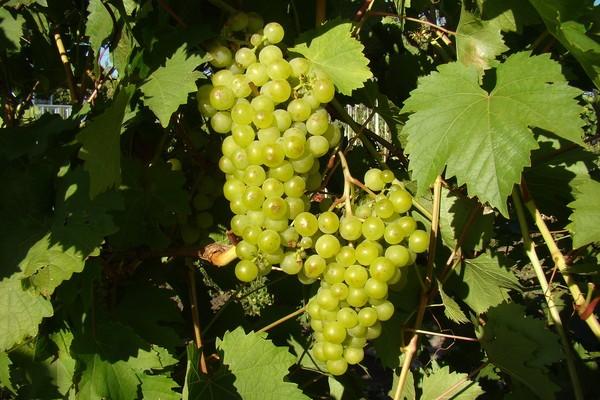 Виноград мускат белый сверхранний: особенности выращивания