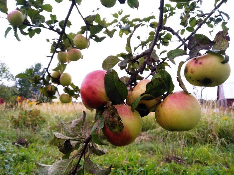 Почему не плодоносит яблоня: что делать, если нет плодов