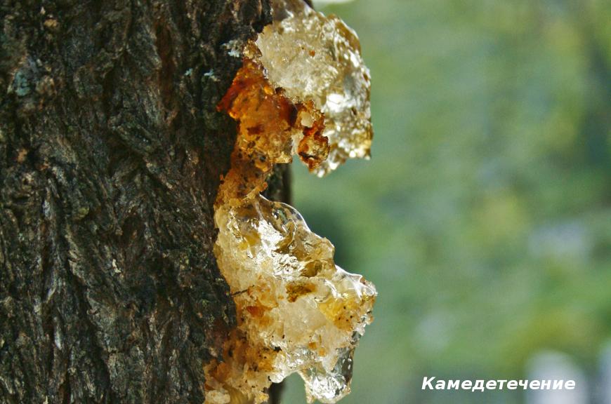 Лечение вишни от камедетечения: способы боры и профилактика