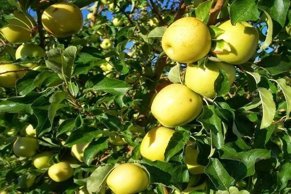 Яблоня кроха: описание, фото, отзывы