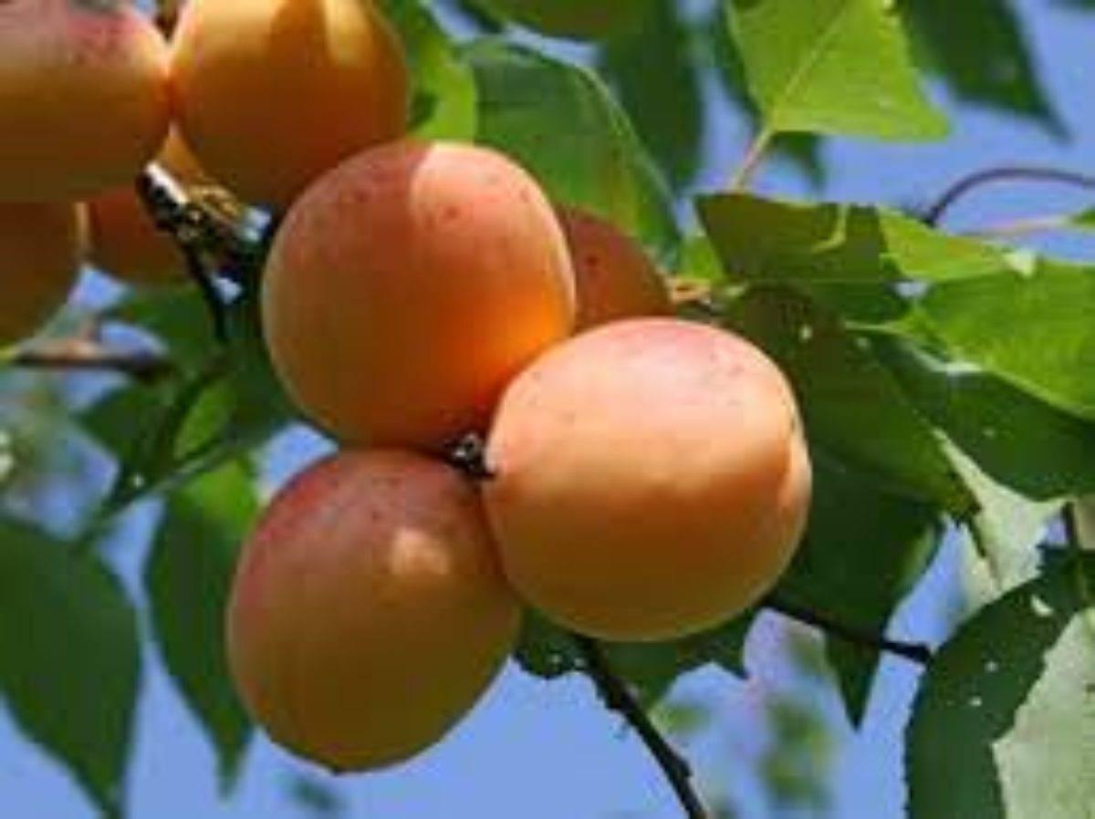Об абрикосе лель: описание и характеристики сорта, посадка, уход, выращивание