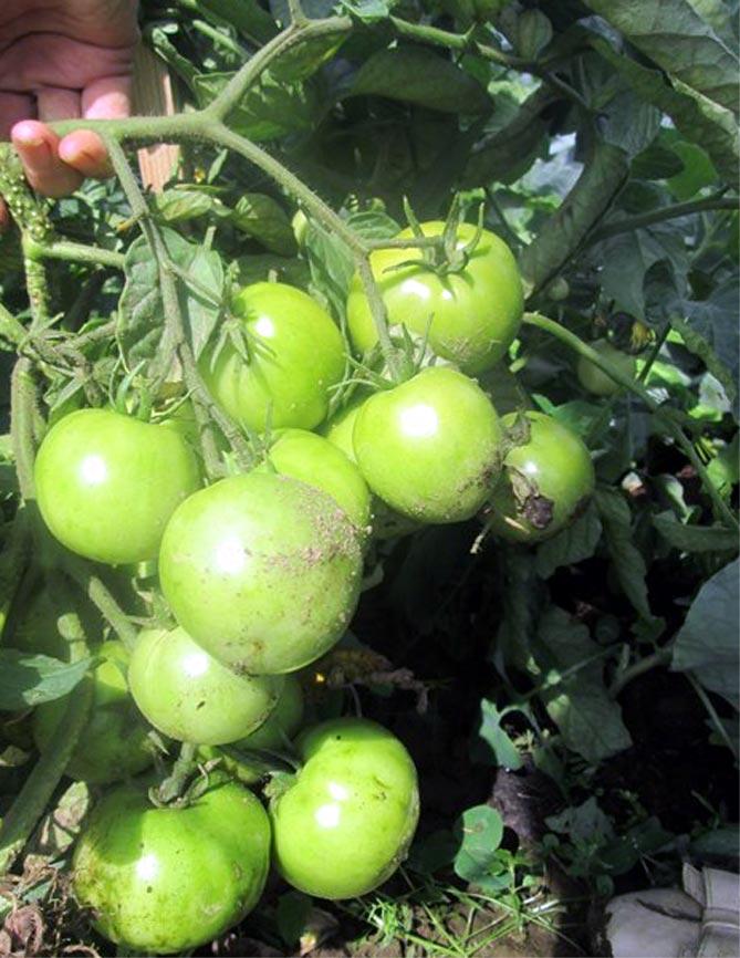 Помидор большая мамочка описание сорта с фото, характеристика, урожайность отзывы кто сажал