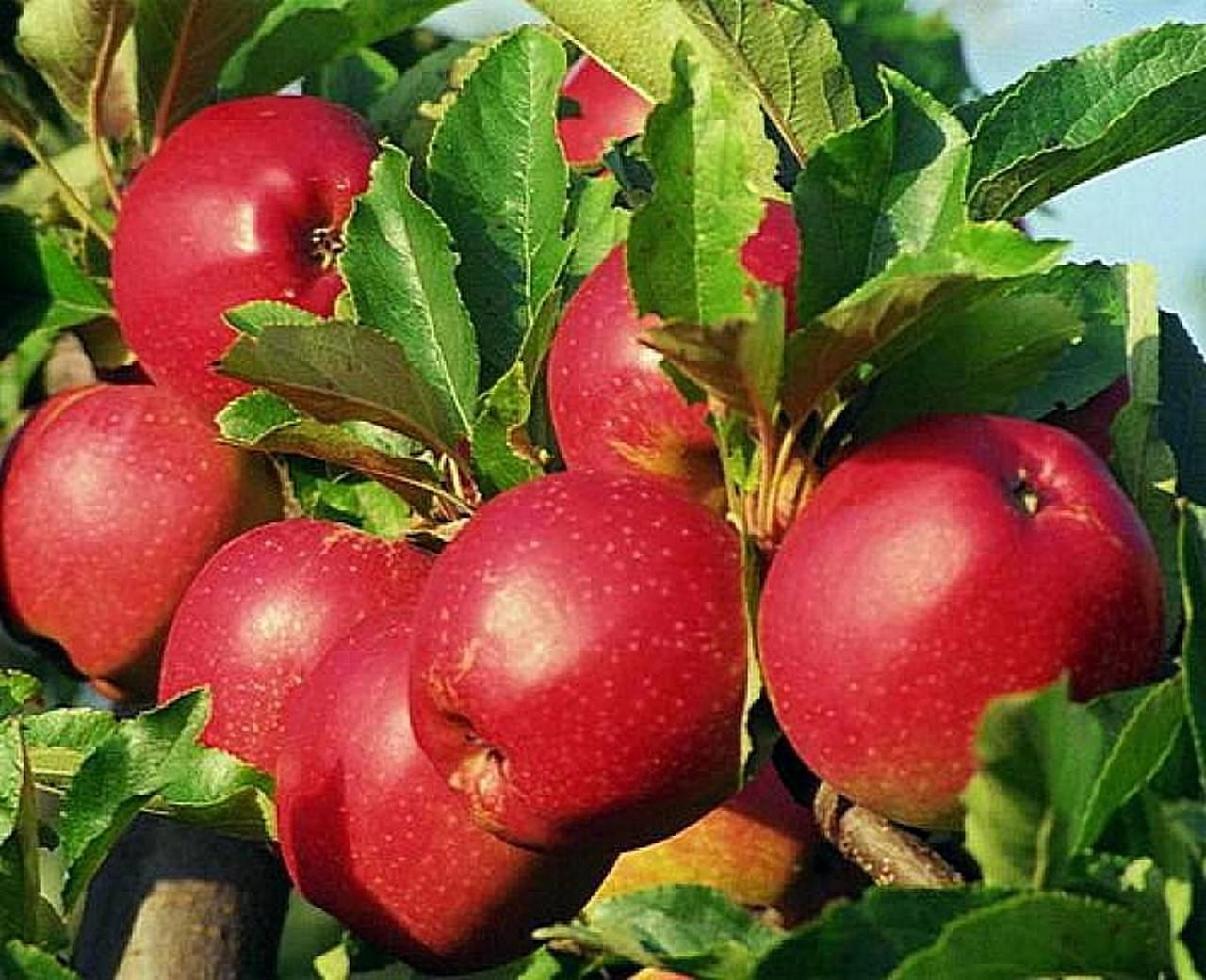 Яблоня коваленковское: описание сорта, фото, особенности выращивания