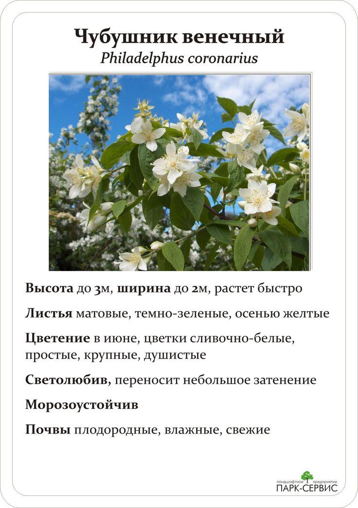 Кустарники-многолетники цветущие весной, летом, осенью фото с названиями