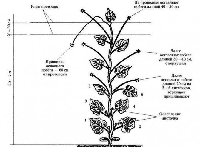 Огурцы сорта «кураж f1»: описание и советы по выращиванию