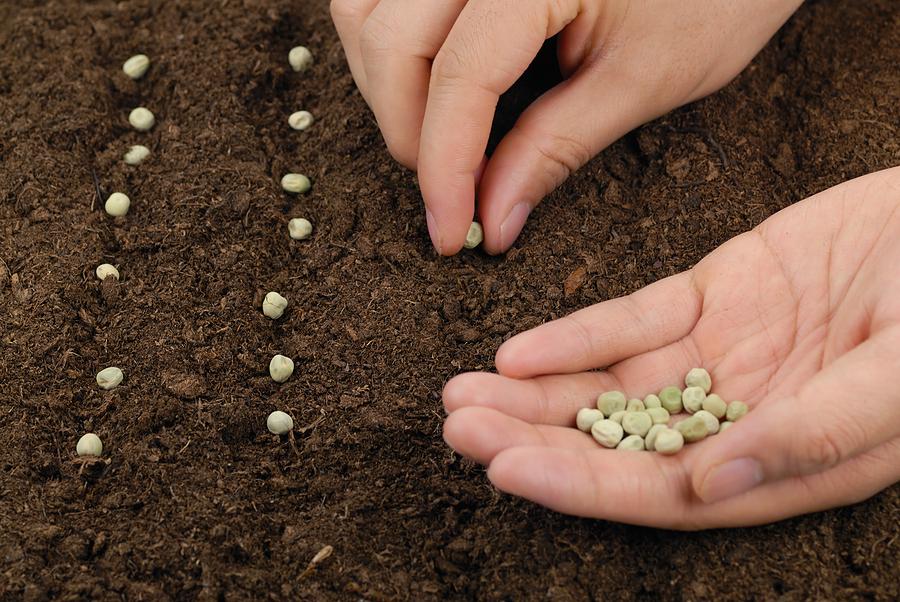 Пряная трава душица: посадка и уход в открытом грунте и в домашних условиях. когда лучше собирать урожай?