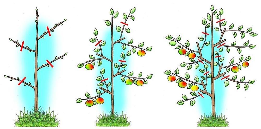 Яблоня не плодоносит, в чем причина? что делать, если молодая или старая яблоня не хочет давать плоды: способы стимуляции