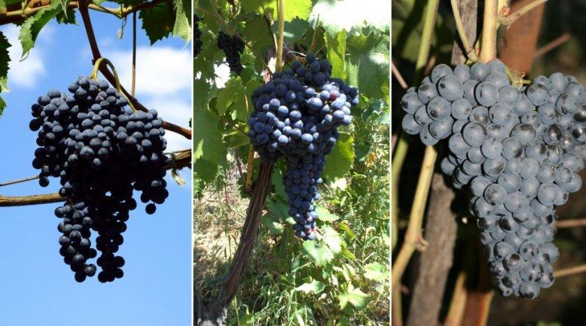 ✅ виноград «красень»: описание сорта, фото, отзывы - tehnoyug.com