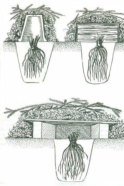 Как сохранить хризантемы зимой не выкапывая из земли