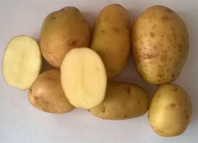 Картошка импала: описание сорта, достоинства, фото и отзывы