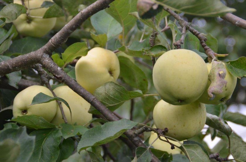 Яблоки антоновка: описание и фото сорта, десертная на основе обыкновенной и другие разновидности, урожайность, особенности выращивания, болезни и вредители