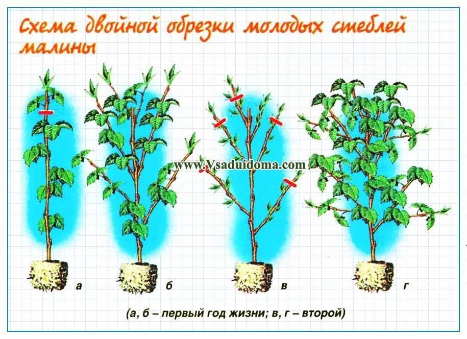 ✅ малиновое дерево: посадка, уход, выращивание сортов таруса и крепыш - tehnomir32.ru