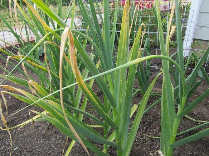 Нектарин: выращивание в саду, виды и сорта