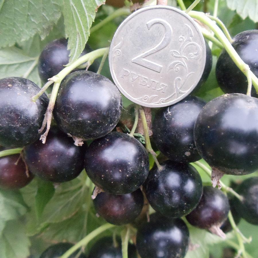 Чёрная смородина лентяй: описание сорта с характеристикой и отзывами, особенности посадки и выращивания и ухода, фото