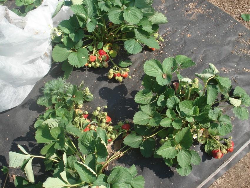 В каком месяце пересаживать клубнику, чтобы был большой урожай