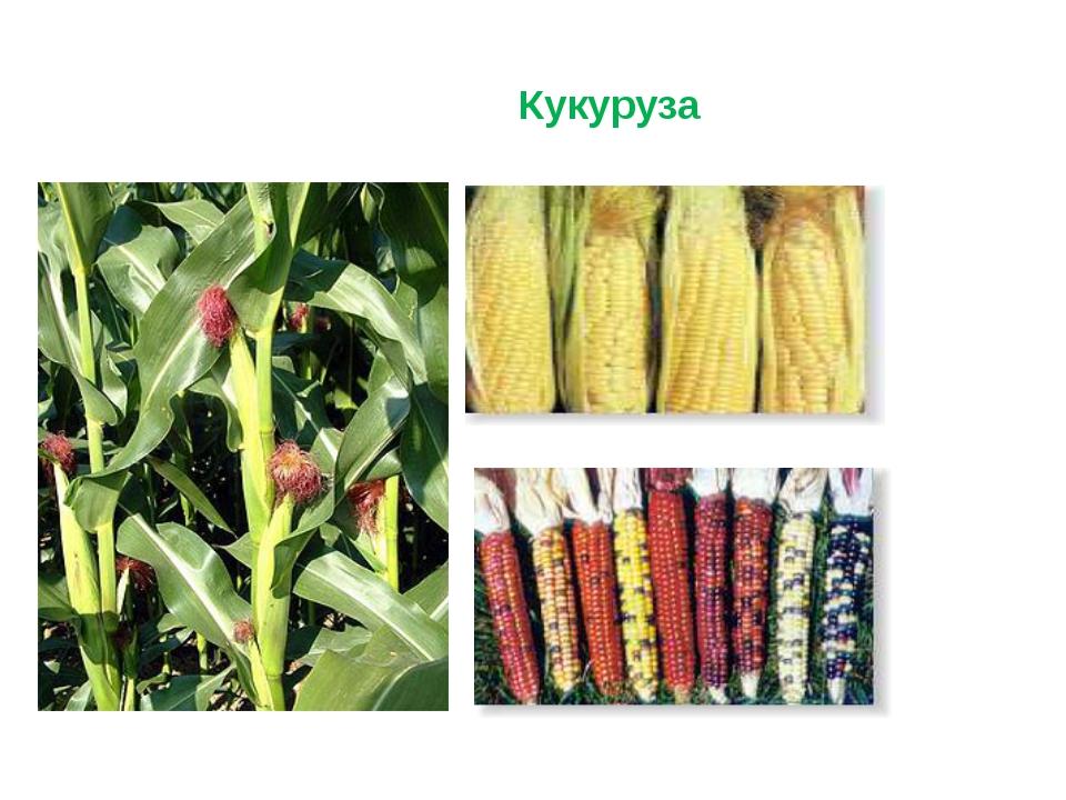 Кукуруза — посадка и уход в открытом грунте в средней полосе россии