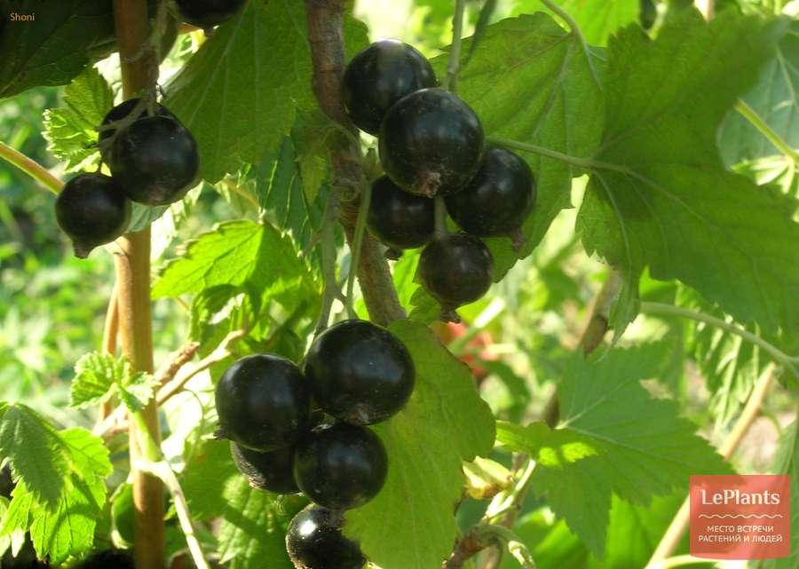 Сорт черной смородины перун: описание, отзывы