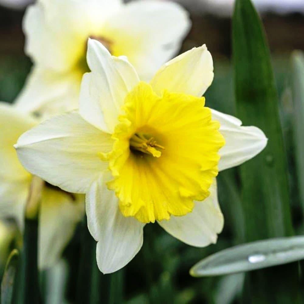 """Нарцисс (narcissus). описание, виды и уход за нарциссом   флористика на """"добро есть!"""""""