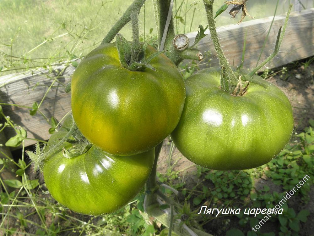 Лягушка помидор - фото, описание, рекомендации, средние цены