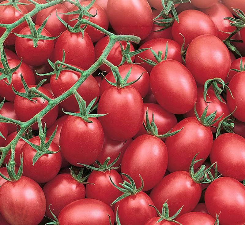 Лучшие сорта томатов для северо-запада с описанием и характеристиками
